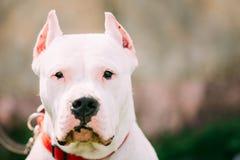 Белая собака Dogo Argentino также известная как Mastiff Аргентины Стоковое Изображение RF