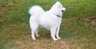 Белая собака samoyed в парке Стоковое Фото