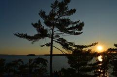 Белая сосна и заход солнца Стоковые Изображения RF