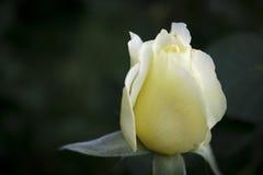 Белая солодка подняла Стоковая Фотография RF