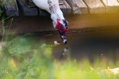 Белая среда обитания утки стоковые изображения