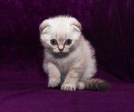 Белая створка Scottish котенка Стоковое Фото