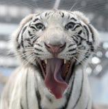 Белая сторона тигра Бенгалии Стоковые Изображения
