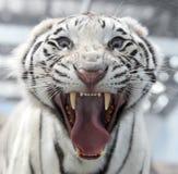 Белая сторона тигра Бенгалии Стоковое фото RF