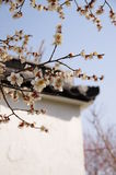 Белая слива цветет цветение весной Стоковое Изображение RF