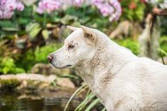 Белая тайская собака Стоковая Фотография