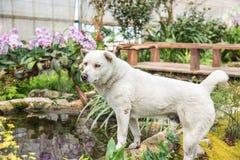 Белая тайская собака Стоковая Фотография RF