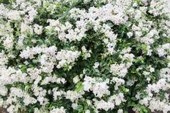 Белая текстура цветка Peper Стоковая Фотография