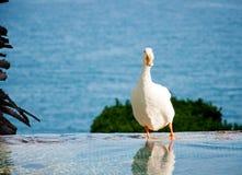Белая утка в воде Стоковая Фотография