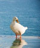 Белая утка в воде Стоковое фото RF