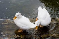 Белая утка в воде Стоковые Изображения