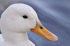 Белая утка в реке стоковые фотографии rf