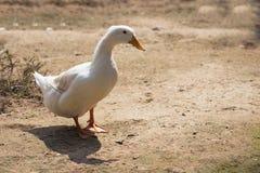 Белая утка в ферме Стоковые Фотографии RF