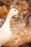 Белая утка и коричневые утки в ферме Стоковые Фотографии RF