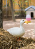 Белая утка на сене Стоковое фото RF