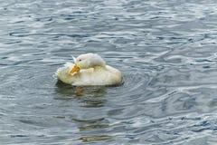 Белая утка прихорашиваясь на озере Стоковые Изображения RF