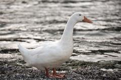 Белая утка Стоковые Изображения RF