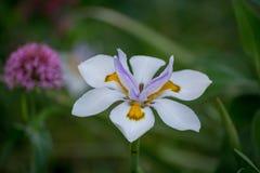 Белая & фиолетовая Дн-лилия Стоковая Фотография