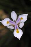 Белая фиолетовая и желтая радужка Стоковые Изображения RF