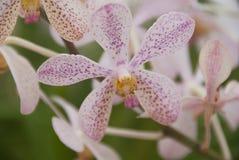 Белая & фиолетовая предпосылка свежего цветка орхидеи стоковое изображение rf