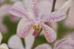 Белая & фиолетовая предпосылка свежего цветка орхидеи Стоковая Фотография RF