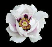 Белая фотография макроса цветка пиона Стоковое Изображение RF