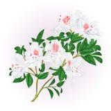 Белая хворостина рододендрона с иллюстрацией вектора цветков и листьев винтажной editable Стоковое Изображение
