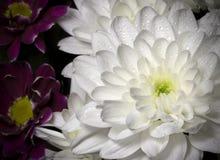 Белая хризантема с падениями росы Стоковое Изображение RF