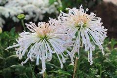 Белая хризантема терния Стоковое Изображение