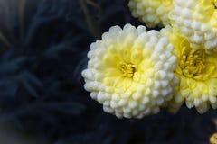 Белая хризантема цветет крупный план Стоковые Изображения RF