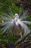 Белая цапля Стоковое Изображение RF