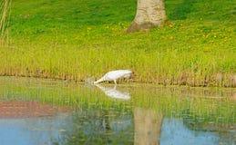 Белая цапля spears рыба в реке Стоковая Фотография