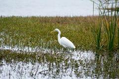 Белая цапля Wading Стоковое Фото