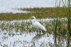 Белая цапля Wading Стоковое фото RF