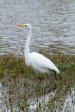 Белая цапля Wading Стоковое Изображение