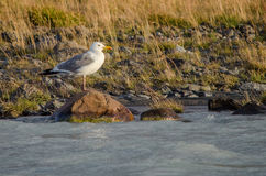 Белая чайка летая над рекой распространила крыла Стоковое Изображение