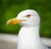 Белая чайка на зеленой предпосылке Стоковое фото RF