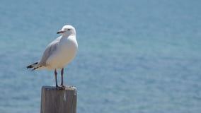 Белая чайка на поляке Стоковое Изображение RF