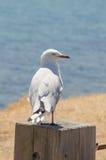 Белая чайка на поляке Стоковые Изображения