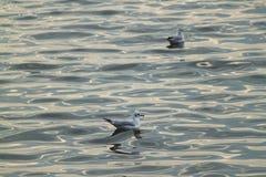 Белая чайка плавая с солнечностью отражает на реке Стоковые Изображения