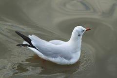 Белая чайка плавая с солнечностью Стоковые Фотографии RF