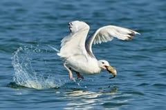 Белая чайка с рыбами в своем клюве Стоковая Фотография RF