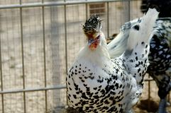 Белая чернота chiken Стоковая Фотография RF