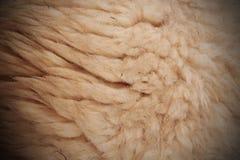 Белая шерстистая ватка овец для предпосылки стоковая фотография rf