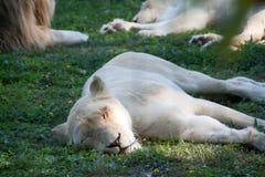 Белая львица Стоковое Изображение RF