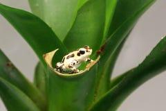 Белая лягушка дротика отравы pumilio Стоковые Фотографии RF