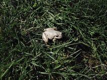 Белая лягушка Стоковые Фотографии RF