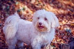 Белая havanese собака стоя в листьях осени Стоковая Фотография