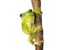 Белая Lipped древесная лягушка Стоковые Изображения RF