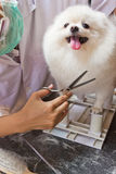 Белая pomeranian улыбка Стоковая Фотография